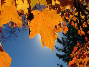 Autumn leaves covering the sun
