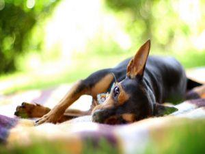 Dog lying in a blanket