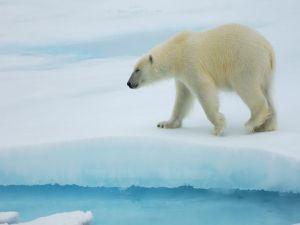 Polar bear walking the ice