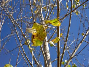 Tree with few leaves in late autumn