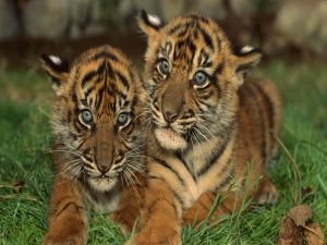 Two cute tiger cubs