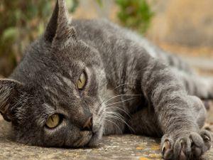 Gray cat lying