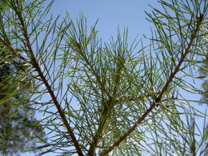 Branches and needles of a pine