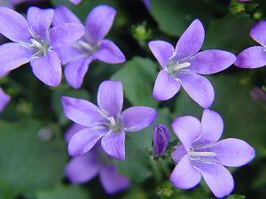 Lilac color flowers