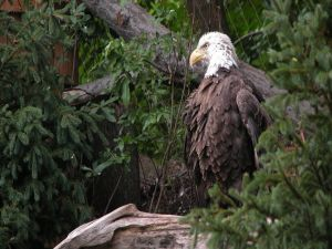 Bald Eagle between vegetation