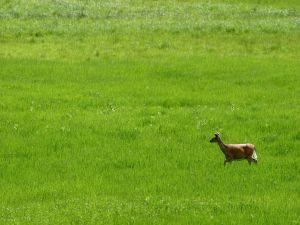 Small deer running on the grass