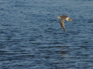 Bird flying at sea