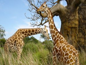 Giraffes next to a large tree