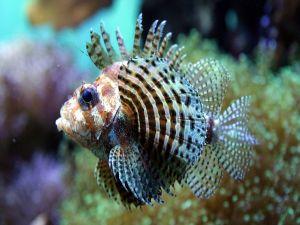 Small lionfish