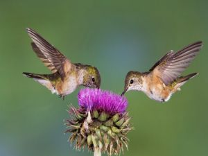 Two hummingbirds in the same flower