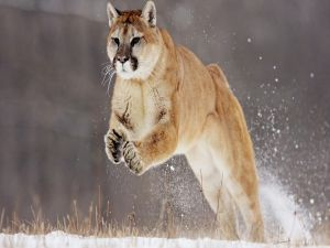 Puma jumping in the snow