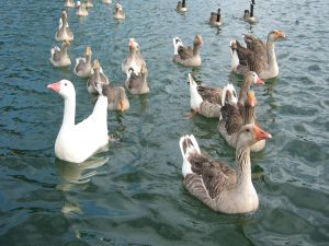 Gooses in the water