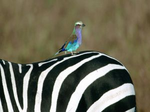 Bird perched on a zebra