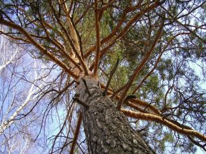 Pine seen from the ground
