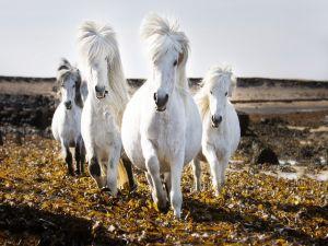 White horses trotting on field