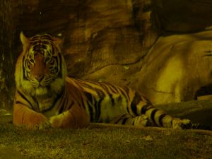 Tiger resting in the shade
