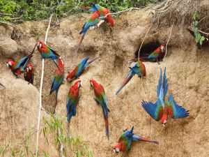 Red-and-green Macaws or Green-winged