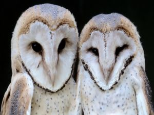 Two common barn owls (Tyto alba)