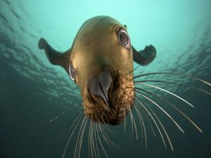 The face of a sea lion underwater