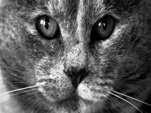 The face of a cat viewed in black and white