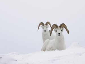 White goats in the snow