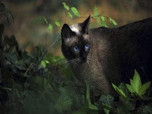 Blue eyed cat among green leaves