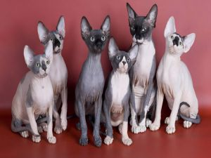 Hairless cats (Sphynx)