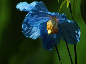 Flower with blue petals
