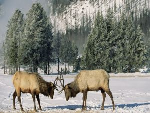 Two reindeer fight in the snow