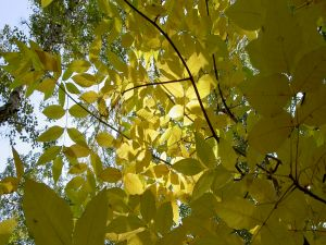 Yellow leaves on the tree