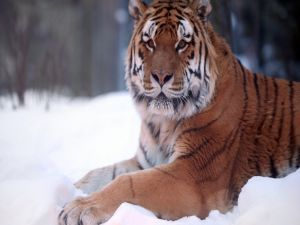 A big tiger in the snow