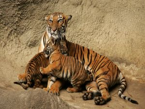 Tigress with her cubs