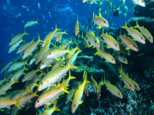 School of Fish with yellow tail