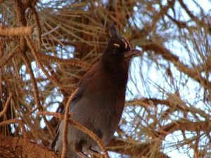 Bird on the branches of a pine