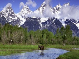 Female moose walking through the river