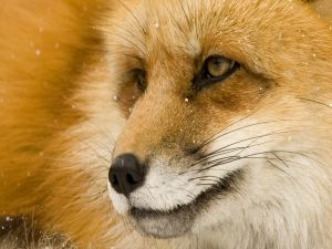 The face of a fox