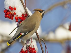 Bird on a branch with red berries and snow
