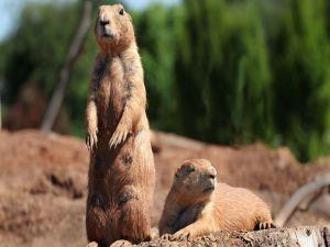 Marmots sunbathing