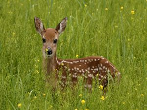 Small deer in the grass
