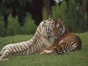 Tigers with their heads together