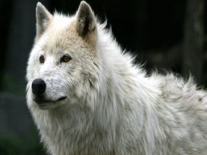 Gaze of the white wolf