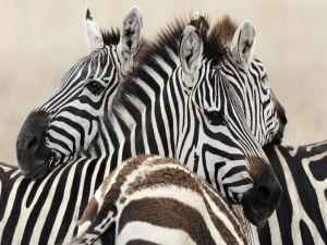 Heads of zebras