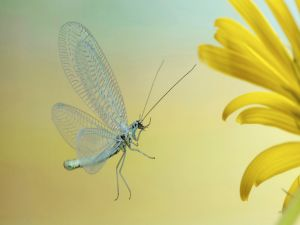 Body, legs and antennae of a butterfly with transparent wings