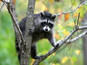 Raccoon in the tree branch