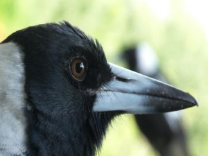 Head and beak of a crow
