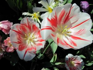 Tulips with white and red petals