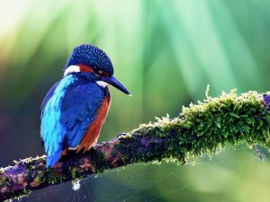 Blue and red bird on a branch with a cobweb