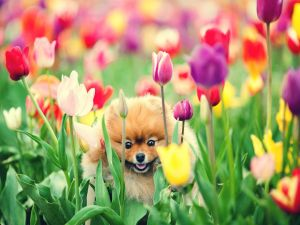 Small dog between the tulips