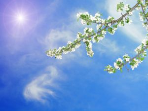 The sun gives light to the branches with white flowers