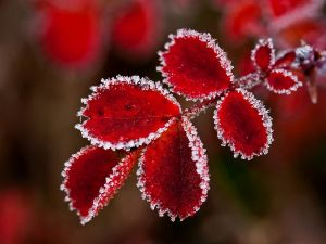 Red leaves with frozen edges